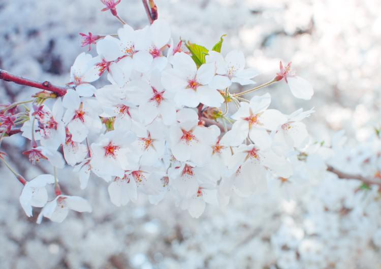 Este parque de Toronto muy pronto podría llenarse de flores de cerezo