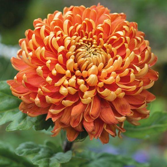 Chrysanthemum 'Astro Dark'