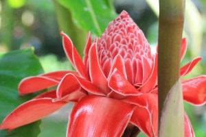 Torch ginger, Wilson Botanical Garden