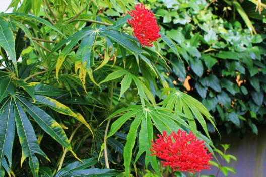 Coral-plant In Boquete, our Garden of Eden . . . Panama The Expat Life The Great Outdoors