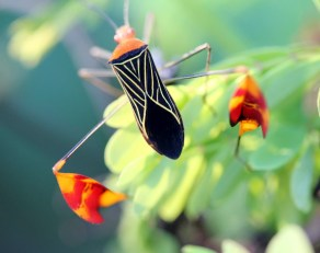 leaf-footed-bug In Boquete, our Garden of Eden . . . Panama The Expat Life The Great Outdoors