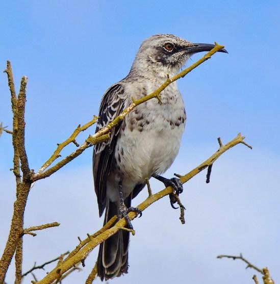Galapagos-Mockingbird The Galapagos Islands - Birder Heaven Ecuador Galapagos Birds Galapagos Islands