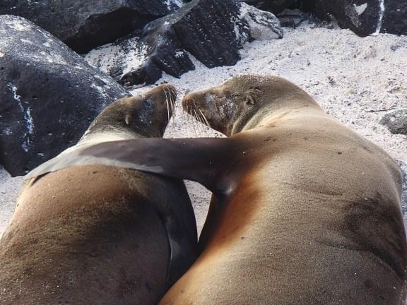 Galapagos-Sea-Lion-Love The Galapagos Islands - Pinniped Paradise! Ecuador Galapagos Islands Panama