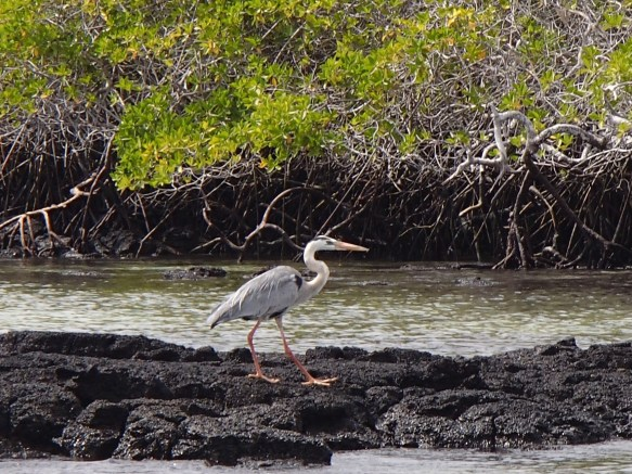 Great-Blue-Heron The Galapagos Islands - Birder Heaven Ecuador Galapagos Birds Galapagos Islands