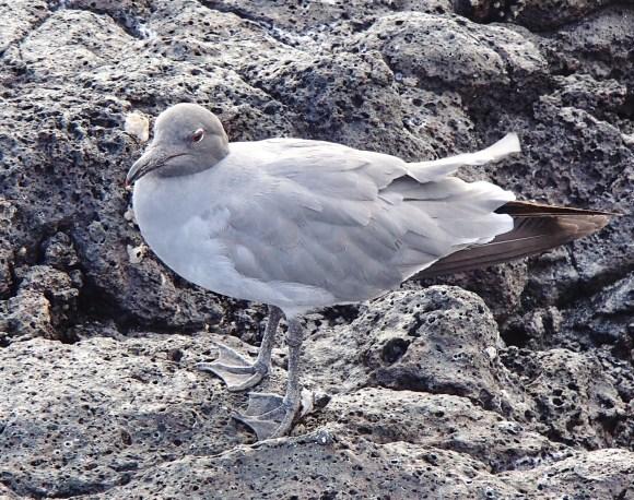 Lava-Gull-2 The Galapagos Islands - Birder Heaven Ecuador Galapagos Birds Galapagos Islands
