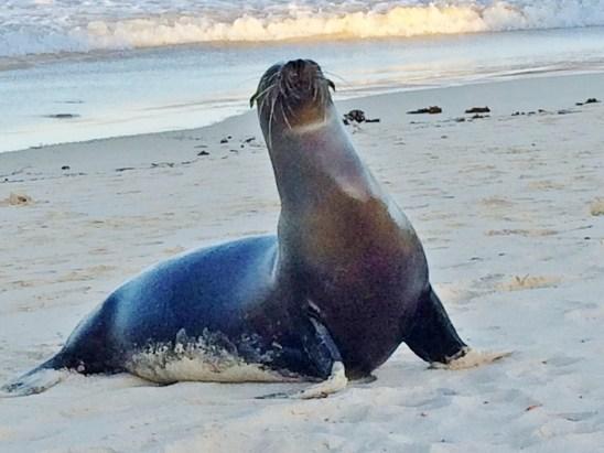 Sea-Lion-beach-greeter The Galapagos Islands - Pinniped Paradise! Ecuador Galapagos Islands Panama