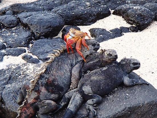 Galapagos-Marine-Iguana-Pile-Up One More Galapagos Post: A Reptilian View Ecuador Galapagos Birds