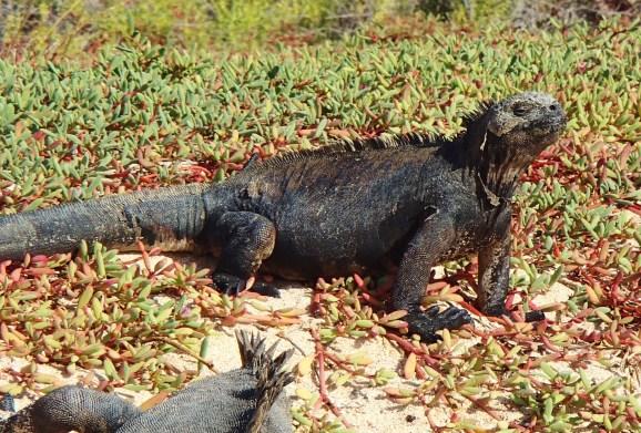 Galapagos-Marine-Iguana-Santa-Cruz-2 One More Galapagos Post: A Reptilian View Ecuador Galapagos Birds