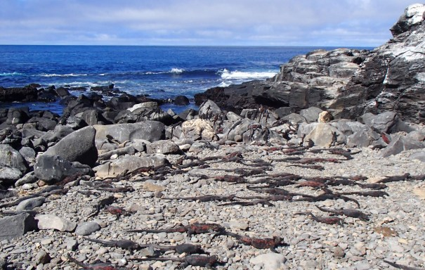 Galapagos-Marine-Iguanas-Floreana One More Galapagos Post: A Reptilian View Ecuador Galapagos Birds