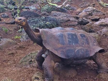 Galapagos-Tortoise-Long-Neck One More Galapagos Post: A Reptilian View Ecuador Galapagos Birds Galapagos Islands
