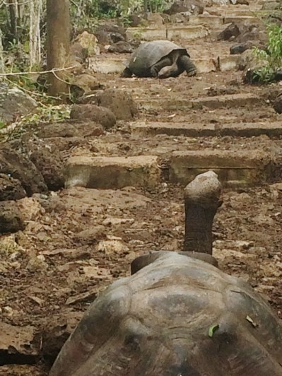Galapagos-Tortoises-on-the-Path One More Galapagos Post: A Reptilian View Ecuador Galapagos Birds