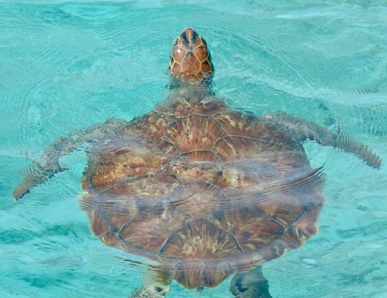 Curacao sea turtle swimming in turqoise water