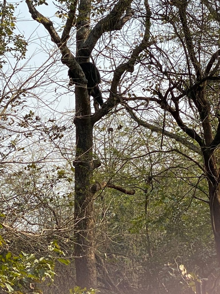 Elvis-in-Tree-scaled Guest Post: The Sloth Bears of India's Wildlife SOS India