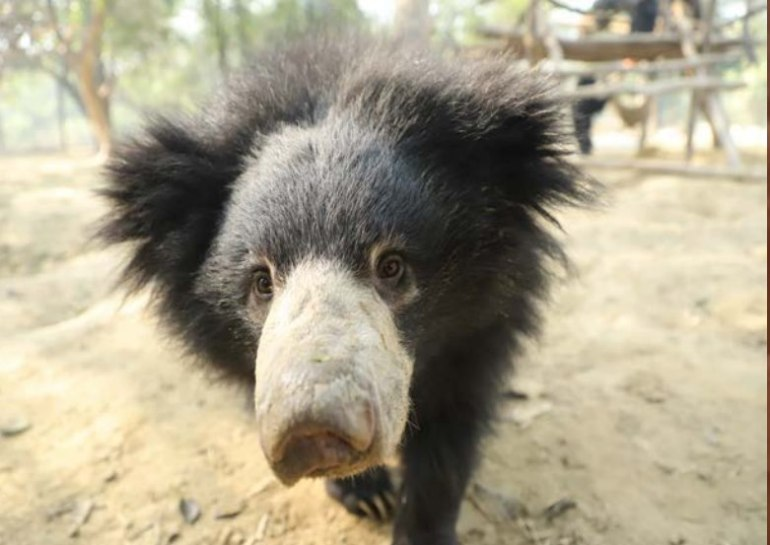 Ginny-close-up Guest Post: The Sloth Bears of India's Wildlife SOS India