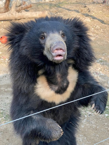 Mowgli-768x1024 Guest Post: The Sloth Bears of India's Wildlife SOS India