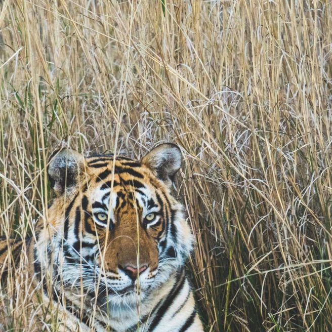 WSOS-Photo-Tiger Guest Post: Tiger Safari in Ranthambore National Park India
