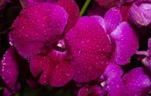 orchid show-17