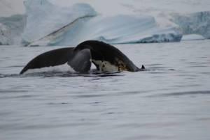 Baleine Articque