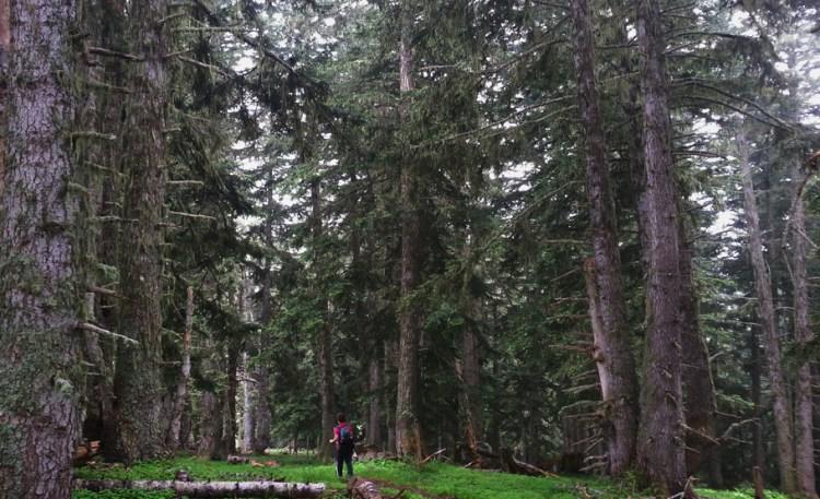Impresionantes bosques de abetos