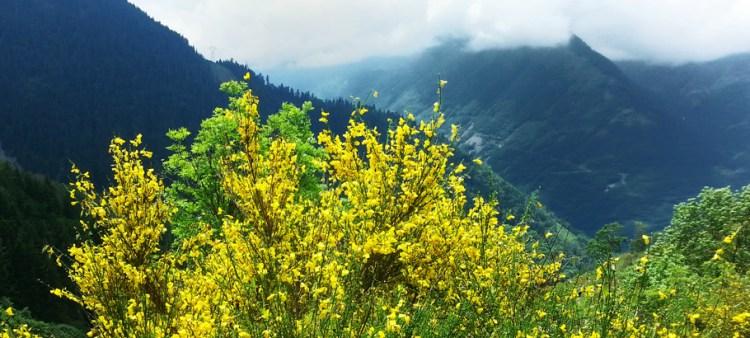 Ginesta en plena flor