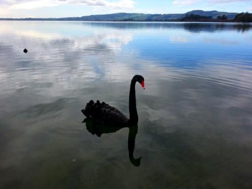 Un cisne.... en el mar!