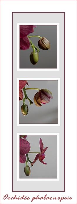 triptyque éclosion bouton orchidée