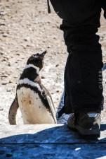 pinguinera-camarones-7164