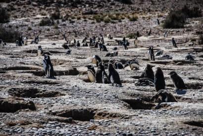 pinguinera-camarones-7226