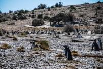 pinguinera-camarones-7228