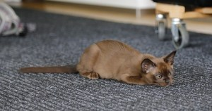 Burmese smartest cat breeds