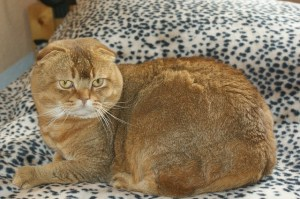 Scottish Fold smartest cat breeds