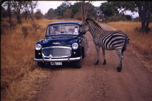 A zebra sticking his nose into an old, blue car.