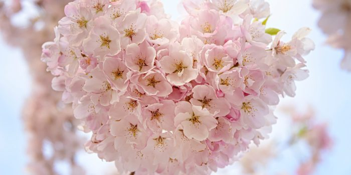 Cherry blossoms in the shape of a heart