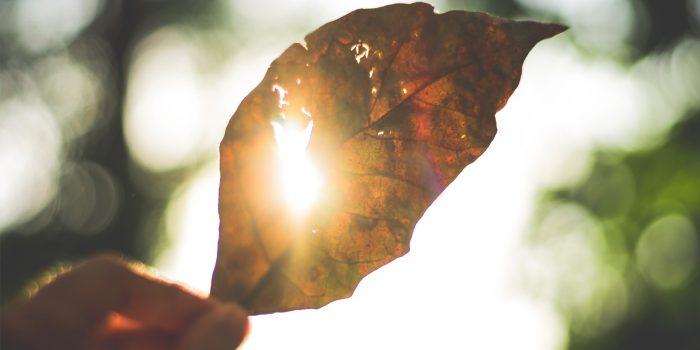 Sun shining through a hole in a dried leaf.