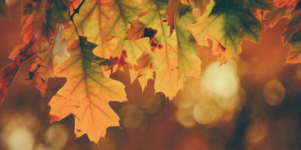 Photo of orange maple leaves.