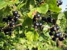 Blackcurrants (upenes)