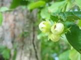 Hazelnuts (lazdu rieksti)