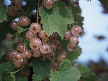 White currants (baltās jāņogas). They are less common than red currants, that usually are preserved as jelly or compote