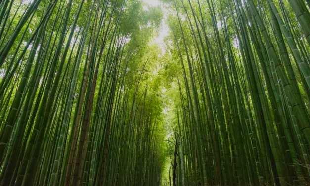 La leggenda del bambù