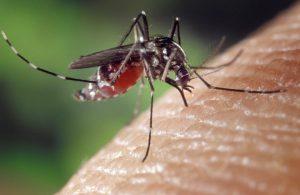 Bild einer Mücke beim Blutsaugen
