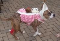 Rediscovering Pitbulls - 11 Adorably Dressed Pitbulls ...