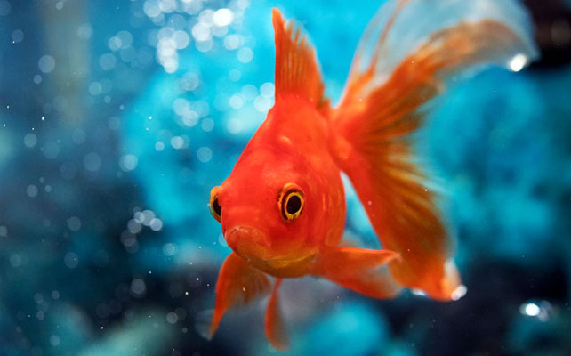 A goldfish has a memory span of three seconds.