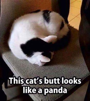 Panda or Cat