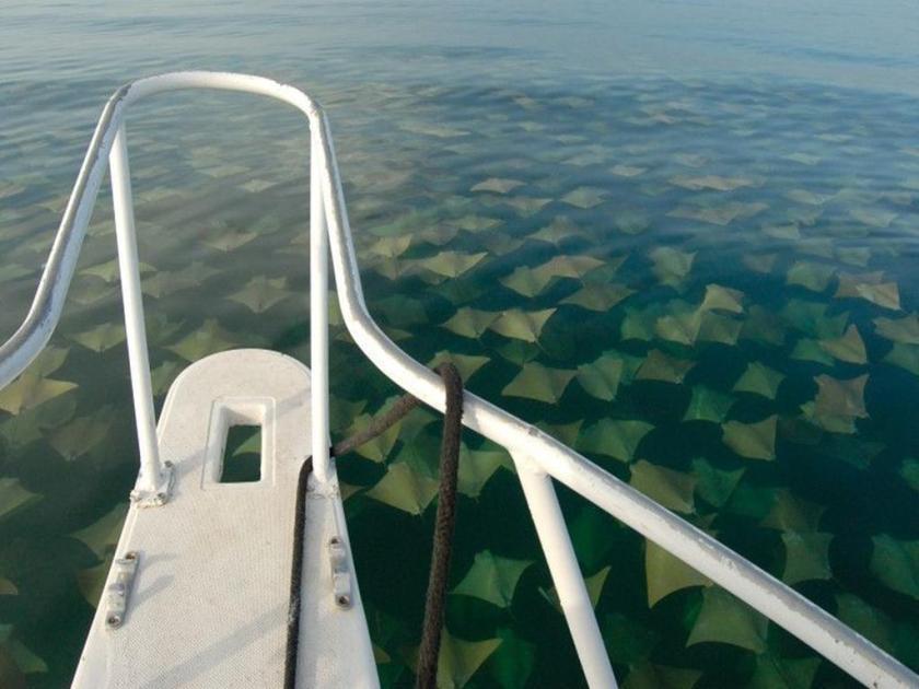 Sea of Sting Rays