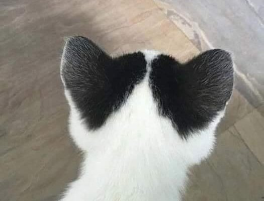 Cat that has two hearts