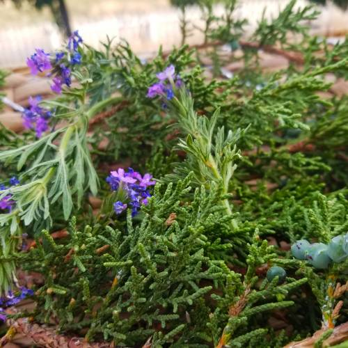 Blue Vervain and Juniper