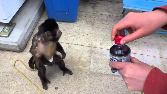 Monkey Boo The Black Capped Capuchin Creates A Colorful Drawing - Monkey knows how to operate vending machine
