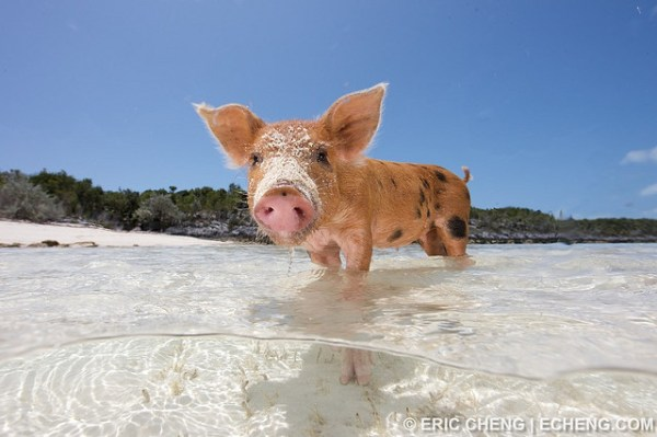 Pigs Swimming at Pig Beach in the Exhumas Banks Bahamas