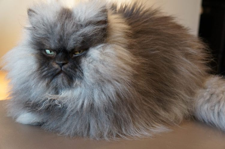 Colonel Meow 20112014 Famous LongHaired Frowning Cat