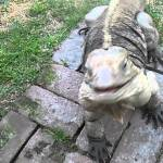 Buddy the Iguana Comes Running Like A Dog When His Human Calls For Him